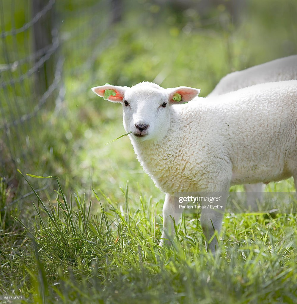 Portrait Of A Sheep : Stockfoto