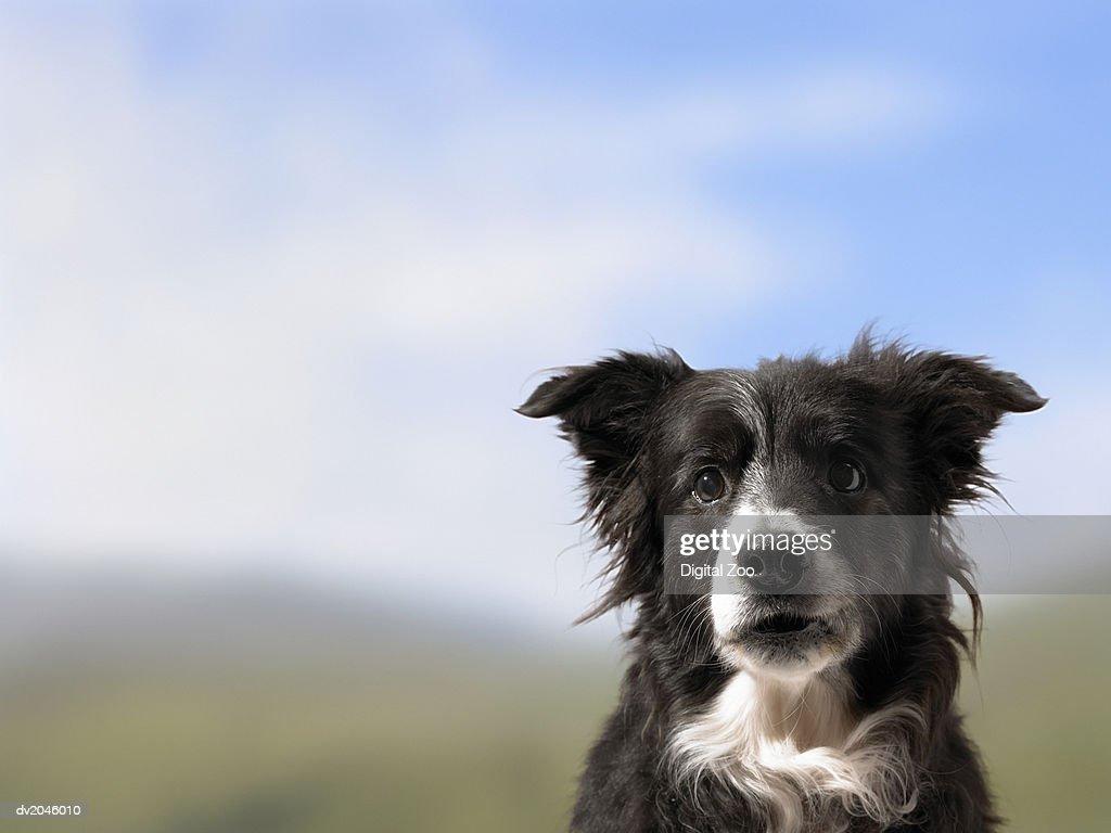 Portrait of a Sheepdog : Stock Photo
