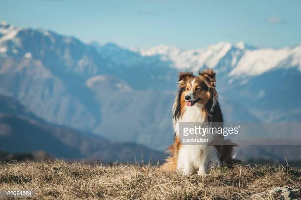 portrait of a shetland sheepdog - collie stock pictures, royalty-free photos & images