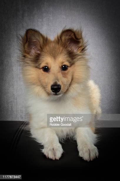 portrait of a shetland sheepdog puppy looking at the camera on a gray background - collie stock pictures, royalty-free photos & images