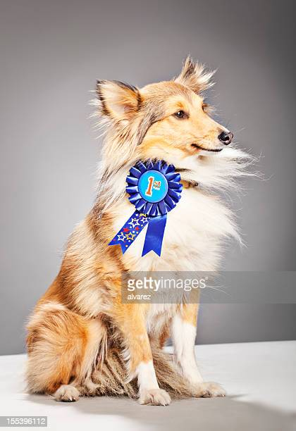 portrait of a shetland sheepdog winning first prize - blue ribbon stock photos and pictures