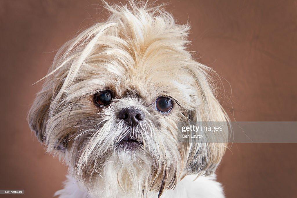 Portrait of a Shih Tzu dog : Stock Photo