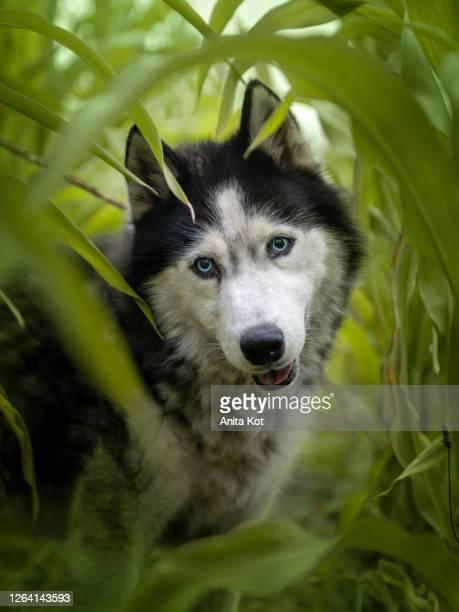 portrait of a siberian husky dog - シベリアンハスキー ストックフォトと画像