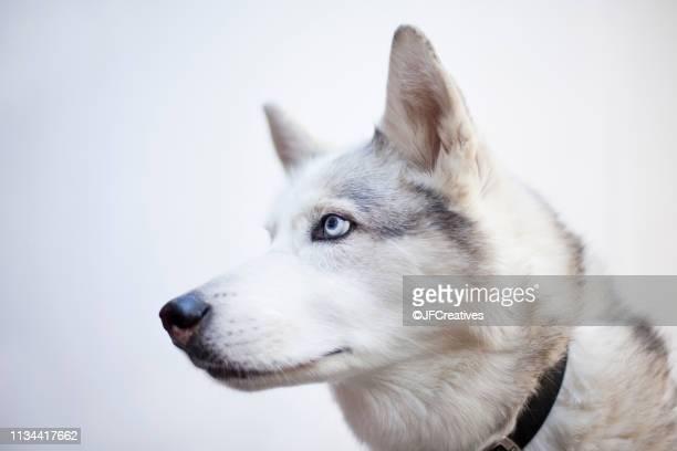 portrait of a siberian husky - cão de puxar trenó imagens e fotografias de stock