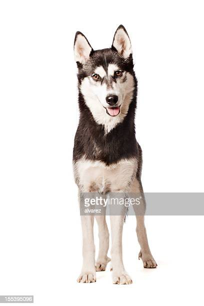 Portrait of a Siberian Husky