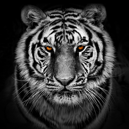 Portrait of a Siberian tiger 1151170153