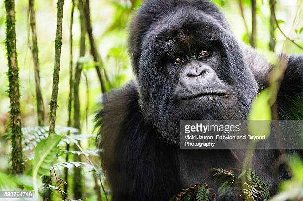 portrait of a silverback gorilla - munyinya of hirwa, rwanda - virunga national park stock pictures, royalty-free photos & images