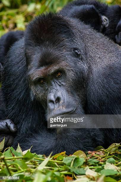 Portrait of a Silverback Gorilla, wildlife shot, Congo