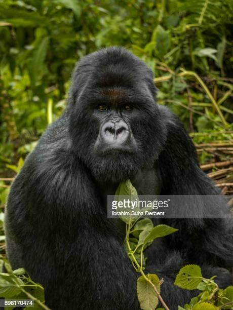 Portrait of a sitting mountain gorilla.
