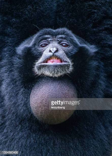 portrait of a smiling siamang, indonesia - funny monkeys stock pictures, royalty-free photos & images