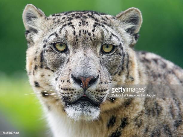 portrait of a snow leopard - leopardo delle nevi foto e immagini stock