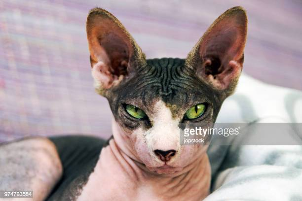 portrait of a sphynx cat - sphynx hairless cat stock photos and pictures
