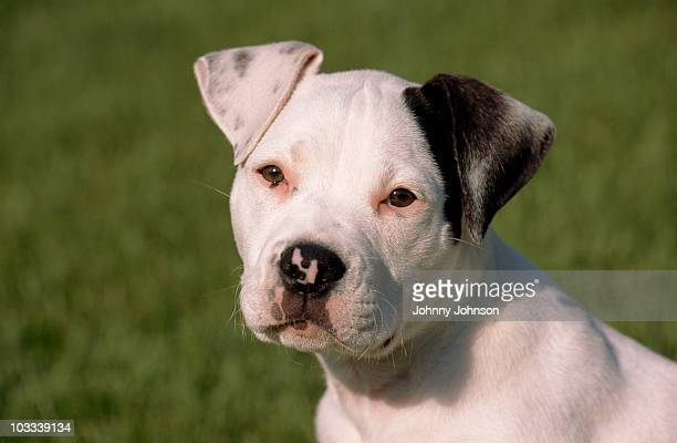 portrait of a spotted puppy - american bulldog stock photos and pictures