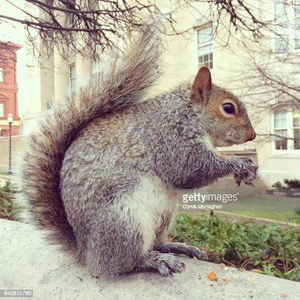 portrait of a squirrel - gray squirrel stock pictures, royalty-free photos & images
