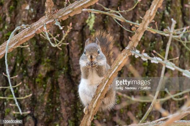 portrait of a squirrel sitting on branch - greg nadeau stock pictures, royalty-free photos & images