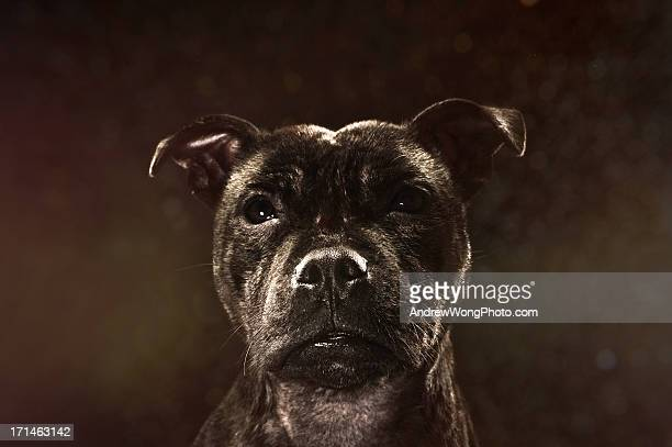 portrait of a staffy - staffordshire bull terrier stock pictures, royalty-free photos & images
