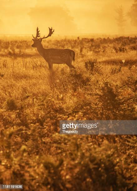 portrait of a stag at sunset, bushy park, richmond upon thames, united kingdom - richmond upon thames stock pictures, royalty-free photos & images