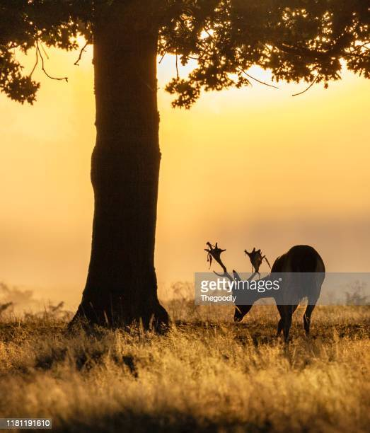 portrait of a stag grazing at sunset, bushy park, richmond upon thames, united kingdom - richmond upon thames stock pictures, royalty-free photos & images