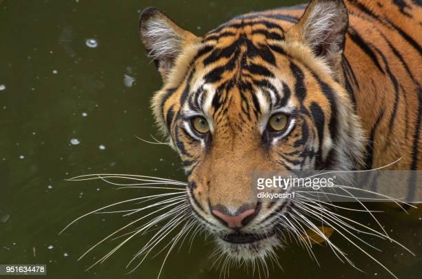 portrait of a sumatran tiger, west java, indonesia - sumatran tiger stock pictures, royalty-free photos & images