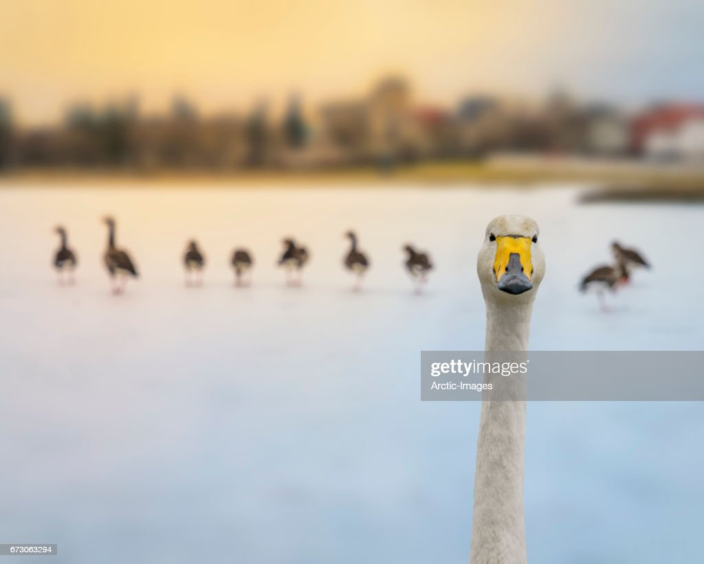 Portrait of a Swan in the winter, Iceland : Stock Photo