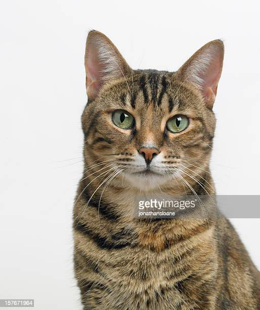 Portrait of a tabby cat looking at the camera
