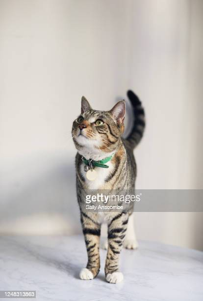 portrait of a tabby cat - tabby stock pictures, royalty-free photos & images