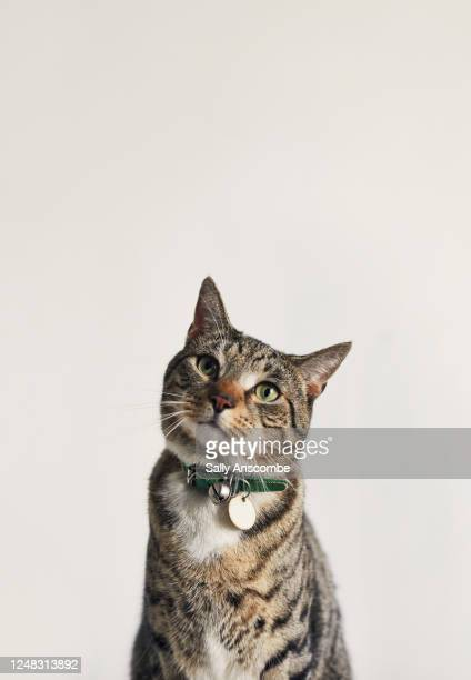 portrait of a tabby cat - domestic cat stock pictures, royalty-free photos & images