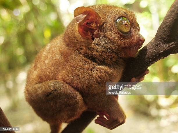 portrait of a tarsier haplorrhine primates - tarsier stock photos and pictures