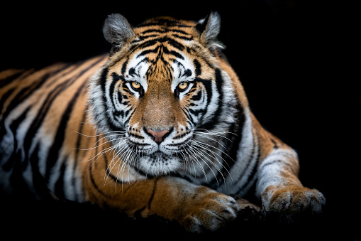 Portrait of a Tiger with a black background 1183959833