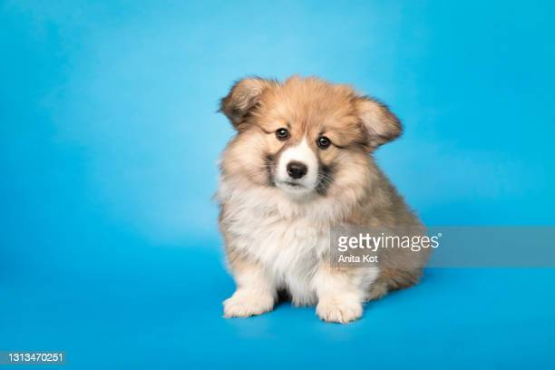 portrait of a tiny fluffy dog - puppies stock pictures, royalty-free photos & images