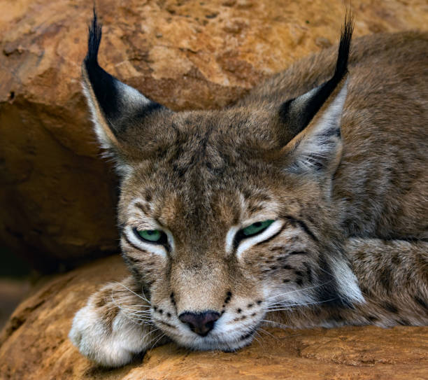 Portrait of a tired lynx lying on rocks, South Africa