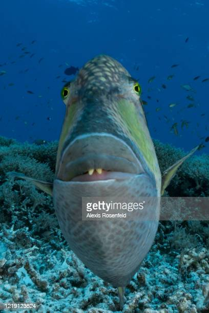 Portrait of a titan triggerfish is one of the most impressive fish found in the Indo-Pacific on April 22 at Tubbbataha Reef, Philippines, Sulu Sea....