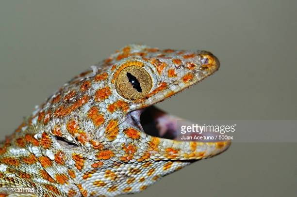 portrait of a tokay gekko gecko . - thailandia stock photos and pictures