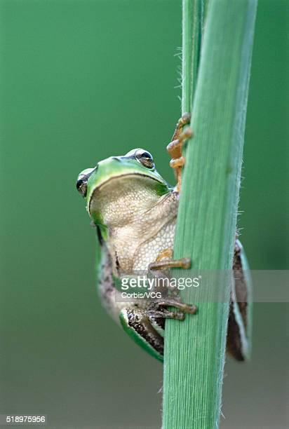 portrait of a tree frog, (hyla meridionalis), clinging to a plant - vcg stock pictures, royalty-free photos & images