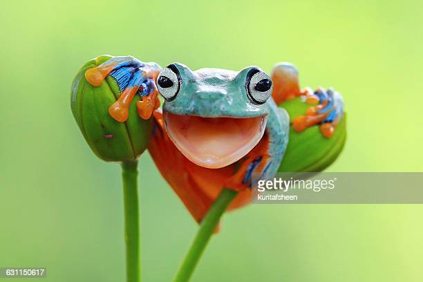 Portrait of a tree frog with mouth open smiling, Indonesia