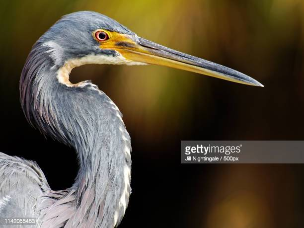 portrait of a tricolored heron - delray beach stock pictures, royalty-free photos & images