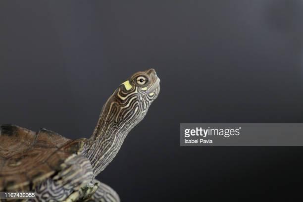 portrait of a turtle on black background - aquatisches lebewesen stock-fotos und bilder