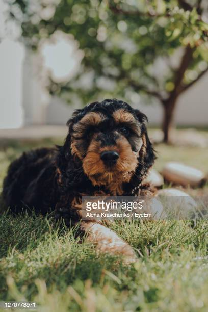 portrait of a two month old cockapoo puppy relaxing on a grass in the garden, looking at the camera. - london breed stock pictures, royalty-free photos & images