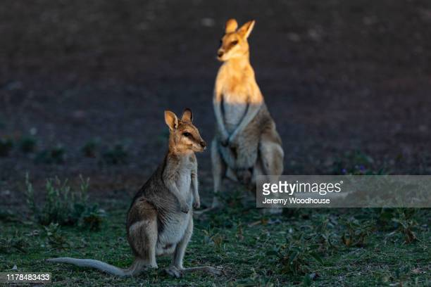 portrait of a two wallabies at sunset - jeremy woodhouse stock pictures, royalty-free photos & images