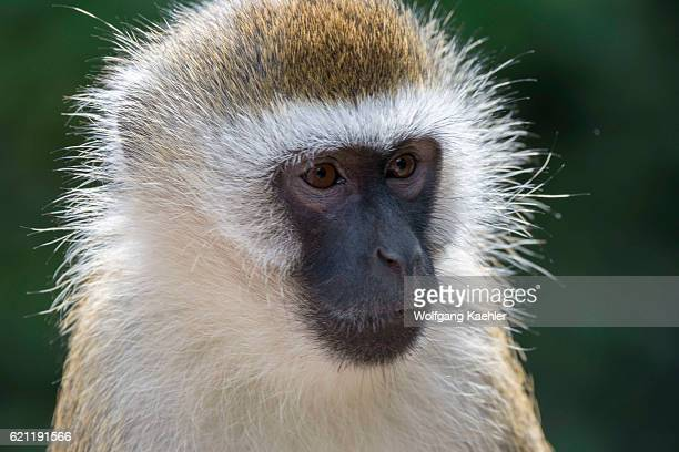 Portrait of a Vervet monkey in Amboseli National Park Kenya