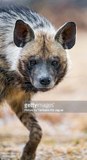 Portrait of a walking striped hyena