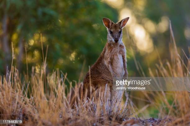 portrait of a wallaby at sunset - jeremy woodhouse stock pictures, royalty-free photos & images