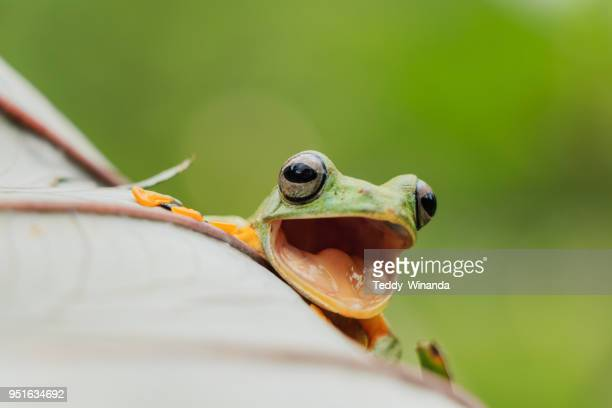 Portrait of a Wallace`s flying frog laughing, West Sumatra, Indonesia