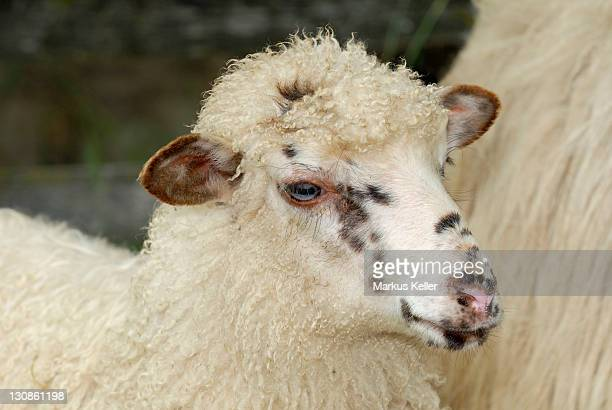 portrait of a wallachian sheep (highly endangered landrace sheep)