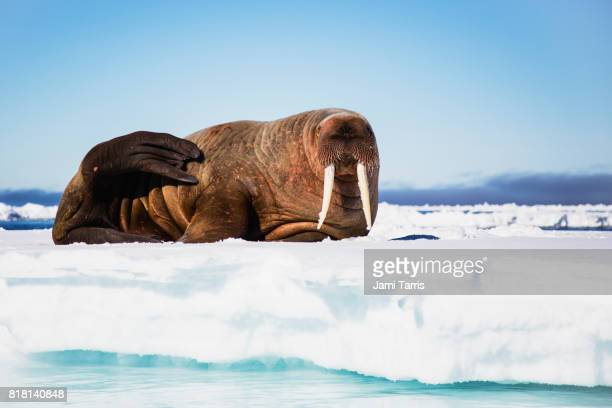 a portrait of a walrus on an ice floe - walrus stock pictures, royalty-free photos & images