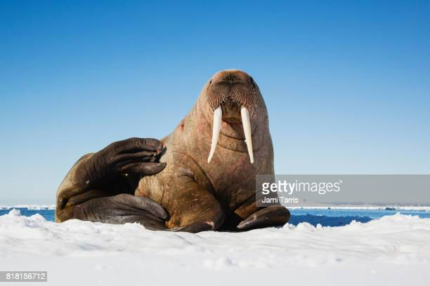 a portrait of a walrus on an ice floe - walrus stock photos and pictures