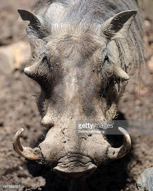 portrait of a warthog (phacochoerus aethiopicus) - ugly pig stock pictures, royalty-free photos & images