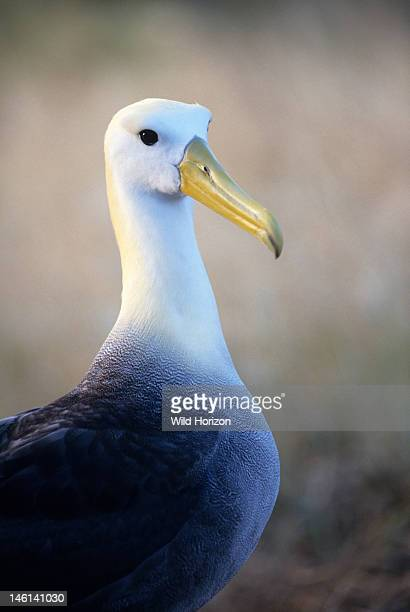 Portrait of a waved albatross also known as the Galapagos albatross during the breeding season Diomedea irrorata This Galapagos endemic breeds only...