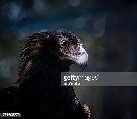 Portrait of a wedge-tailed eagle, Western Australia, Australia