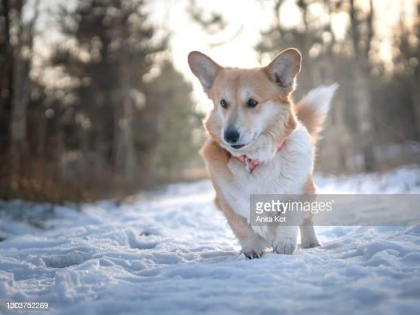 portrait of a welsh pembroke corgi - animal stock pictures, royalty-free photos & images